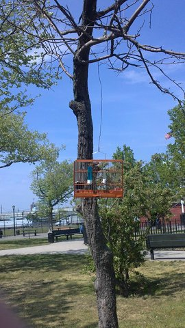 A bird cage hangs on a tree, with a bird inside chirping.